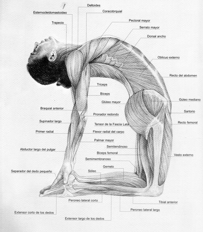 Ustrasana-musculos